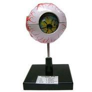 Scientific Educational Model Of Human Eye